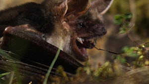 Greater mouse-eared bat (Myotis myotis) eating prey on ground, captive, Germany, May  -  Dietmar  Nill