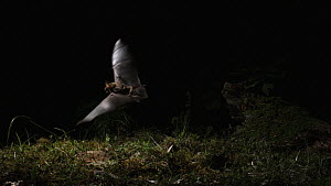 Greater mouse-eared bat (Myotis myotis) catching prey on the ground, captive, Germany, May  -  Dietmar  Nill