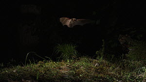 Greater mouse-eared bat (Myotis myotis) locating and catching prey on the ground, captive, Germany, May  -  Dietmar  Nill