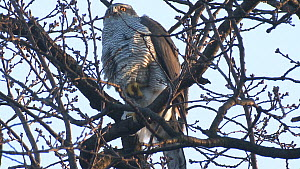 Northern goshawk (Accipiter gentilis) perched in a tree and shifting it's feet to keep them warm, Berlin, Germany, February  -  Dietmar  Nill