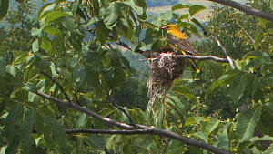 Female Golden oriole (Oriolus oriolus) landing at nest to feed chicks, Bulgaria, June  -  Dietmar  Nill