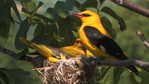 Male and female Golden oriole (Oriolus oriolus)settling at nest and vocalising, before the male takes flight, Bulgaria, June  -  Dietmar  Nill