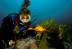 Weedy seadragon (Phylloperyx taeniolatus) with driver watching nearby, Australia. Model released  -  Roberto Rinaldi