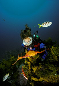 Weedy seadragon (Phylloperyx taeniolatus) with diver watching nearby, Australia. Model released - Roberto Rinaldi
