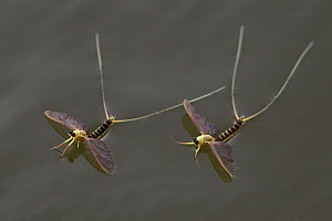 Mayfly (Palingenia longicauda) on water surface, swarming, Tisza river, Hungary, June - Ingo Arndt