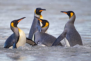 King Penguins (Aptenodytes patagonicus) dispute while coming ashore, Salisbury Plain, South Georgia Island, February - Ingo Arndt