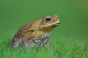 Cane Toad (Bufo marinus) introduced species, now a national pest, Northern Territory, Australia, December  -  Ingo Arndt
