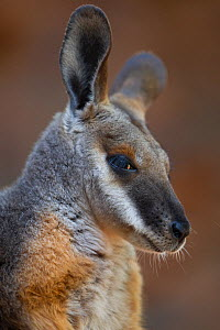 Yellow-footed rock wallaby (Petrogale xanthopus)  Australia, December  -  Ingo Arndt
