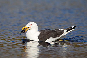 Southern black backed / Kelp gull (Larus dominicanus) feeding on mussel, King Edward Point, South Georgia Island, February  -  Ingo Arndt