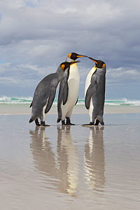 King Penguin (Aptenodytes patagonicus) dispute on beach, Volunteer Point, Falkland Islands, February - Ingo Arndt