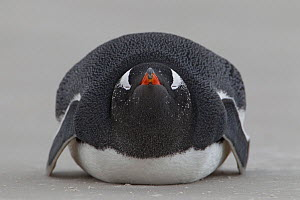Gentoo Penguin (Pygoscelis papua) sleeping on beach, Volunteer Point, Falkland Islands, March - Ingo Arndt