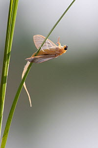 Mayfly (Palingenia longicauda) hanging on leaf and moulting, Tisza river, Hungary, sequence 3/7, June - Ingo Arndt
