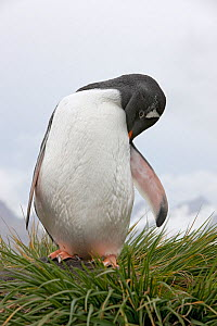 Gentoo Penguin (Pygoscelis papua) preening, Prion Island, South Georgia Island, February - Ingo Arndt
