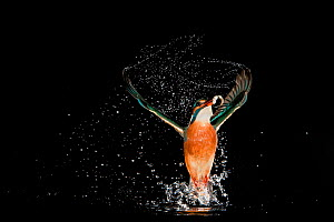 Kingfisher (Alcedo atthis) leaving water after successfully catching a fish, Hessen, Germany, sequence 9/9 - Ingo Arndt