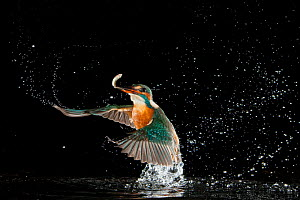 Kingfisher (Alcedo atthis) diving into water to catch a fish, Hessen, Germany, sequence 7/9  -  Ingo Arndt