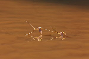 Tisza Mayfly (Palingenia longicauda) flying over water after hatching, Tisza River, Hungary, June  -  Ingo Arndt