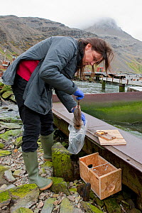 Ruth Fraser checking rat traps at Grytviken Whaling Station, South Georgia Heritage Trust Rat Eradication Project, South Georgia, February 2011  -  Ingo Arndt