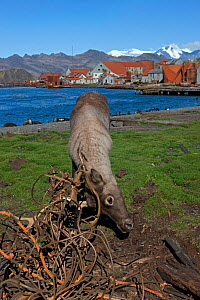 Caribou (Rangifer tarandus) has become entangled in wire ropes from old whaling station, Leith Harbour, South Georgia Island, March 2011  -  Ingo Arndt