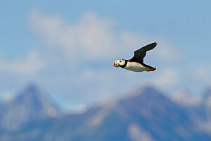Horned Puffin (Fratercula corniculata) adult flying with fish in its beak, Lake Clark National Park, Alaska, USA, August - Ingo Arndt