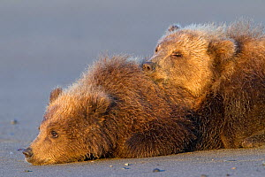 Grizzly Bear (Ursus arctos horribilis) two cubs resting, Lake Clark National Park, Alaska, USA, August - Ingo Arndt