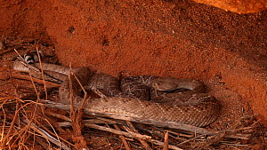 Male Western diamondback rattlesnake (Crotalus atrox) courting female, Sonoran Desert, Arizona, USA. Sequence 1/3.  -  John Cancalosi