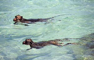 Crab-eating macaques (Macaca fascicularis) swimming in the sea after jumping off rocks, Thailand - Roland Seitre