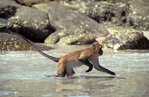 Crab-eating macaques (Macaca fascicularis) coming out of water after jumping off rocks into the sea, Thailand - Roland Seitre