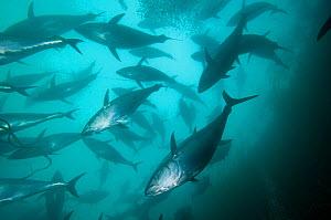 Southern bluefin tuna (Thunnus maccoyii) in fish cage of fish farm, Port Lincoln, South Australia, Critically Endangered species. Wild caught fish are reared in large fish cages for maximum growth bef...  -  Roland Seitre