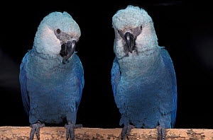Spix's macaw (Cyanopsitta spixii) two perched, portraits, Critically Endangered, captive, from Brazil  -  Roland Seitre