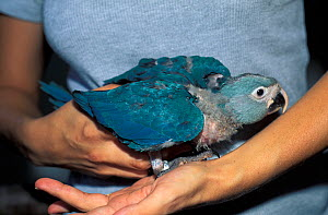 Mauricio dos Santos with a captive bred Spix's macaw (Cyanopsitta spixii), critically endangered species, site of the first attempts to breed Spix's macaw after their extinction in the wild, Recife, P...  -  Roland Seitre