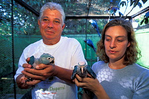 Mauricio and Adriana dos Santos with a captive bred Spix's macaw (Cyanopsitta spixii), critically endangered species, site of the first attempts to breed Spix's macaw after their extinction in the wil...  -  Roland Seitre