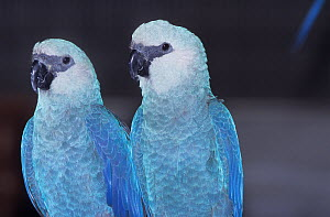 Spix's Macaw (Cyanopsitta spixii) male and female pair, portrait, captive, critically endangered species, from Brazil - Roland Seitre