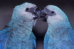 Spix's Macaw (Cyanopsitta spixii) male and female pair touching beaks, captive, critically endangered species, from Brazil  -  Roland Seitre