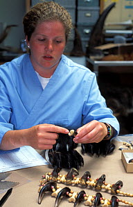 Cookie Sims, mammalogist, examining jewelry made from Indian bear claws at the National Fish and Wildlife Forensics Laboratory, Ashland, Oregon, USA  -  Roland Seitre
