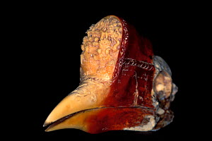 Carved hornbill bill for examination at the National Fish and Wildlife Forensics Laboratory, Ashland, Oregon, USA  -  Roland Seitre