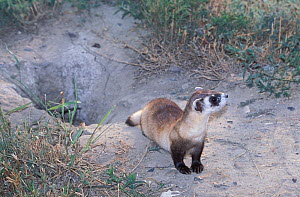 Black-footed Ferret (Mustela nigripes) by its burrow. The species is endangered on account of prey depletion and vulnerability to foreign infection. Declared extinct in the wild in 1987, a successful... - Roland Seitre