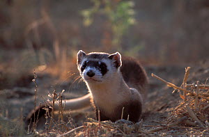Black-footed Ferret (Mustela nigripes). The species is endangered on account of prey depletion and vulnerability to foreign infection. Declared extinct in the wild in 1987, a successful breeding progr... - Roland Seitre