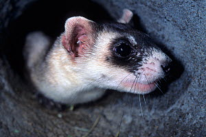 Black-footed Ferret (Mustela nigripes) seen in its burrow. The species is endangered on account of prey depletion and vulnerability to foreign infection. Declared extinct in the wild in 1987, a succes... - Roland Seitre