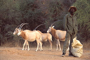 Scimitar Oryx (Oryx dammah) and their handler at the breeding program at Reserve du Ferlo Nord, near Ranero in Senegal. Captive. Previously common, over-hunting and habitat destruction through the 20t...  -  Roland Seitre