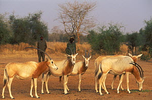 Scimitar Oryx (Oryx dammah) with their handlers at the breeding program at Reserve du Ferlo Nord, near Ranero in Senegal. Captive. Previously common, over-hunting and habitat destruction through the 2...  -  Roland Seitre