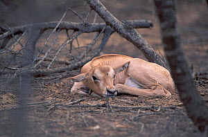 Young Scimitar Oryx (Oryx dammah) resting at the breeding program at Reserve du Ferlo Nord, near Ranero in Senegal. Captive. Previously common, over-hunting and habitat destruction through the 20th ce...  -  Roland Seitre