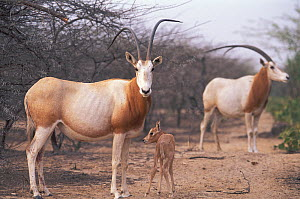 Scimitar Oryx (Oryx dammah) with foal at the breeding program at Reserve du Ferlo Nord, near Ranero in Senegal. Captive. Previously common, over-hunting and habitat destruction through the 20th centur...  -  Roland Seitre