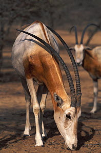 Scimitar Oryx (Oryx dammah) at the breeding program at Reserve du Ferlo Nord, near Ranero in Senegal. Captive. Previously common, over-hunting and habitat destruction through the 20th century has left...  -  Roland Seitre