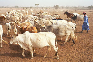 Huge flock of domestic cattle (Bos indicus) kept by Peuhl pastoralists, they create problems of overgrazing and desertification of the region, Ranero, Ferlo, Senegal, 2002.  -  Roland Seitre