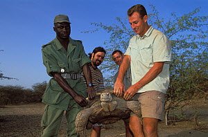 Andrea Gomis, director of the reserve, and Antoine Cadi, scientist, carry an African spurred tortoise (Centrochelys / Geochelone sulcata) Sahel desert, Ferlo North Reserve, Senegal, West Africa, Vulne...  -  Roland Seitre