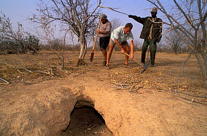 Antoine Cadi, scientist, and others check the ground surrounding the burrow of an African spurred tortoise (Centrochelys / Geochelone sulcata) Sahel desert, Ferlo North Reserve, Senegal, West Africa,...  -  Roland Seitre