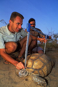 Antoine Cadi, scientist, and assistant measure the shell of an African spurred tortoise (Centrochelys / Geochelone sulcata) Sahel desert, Ferlo North Reserve, Senegal, West Africa, Vulnerable species.... - Roland Seitre