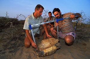 Antoine Cadi, scientist, and assistants measure the ventral shell of an African spurred tortoise (Centrochelys / Geochelone sulcata) Sahel desert, Ferlo North Reserve, Senegal, West Africa, Vulnerable...  -  Roland Seitre