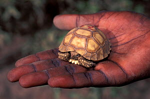 Newly hatched baby African spurred tortoise (Centrochelys / Geochelone sulcata) held in the hand of a research scientist, Sahel desert, Ferlo North Reserve, Senegal, West Africa, Vulnerable species. F...  -  Roland Seitre