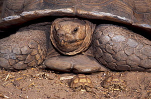 African spurred tortoise (Centrochelys / Geochelone sulcata) Sahel desert, Ferlo North Reserve, Senegal, West Africa, Vulnerable species. Two newly hatched babies and one adult over 100 years old, Fir...  -  Roland Seitre